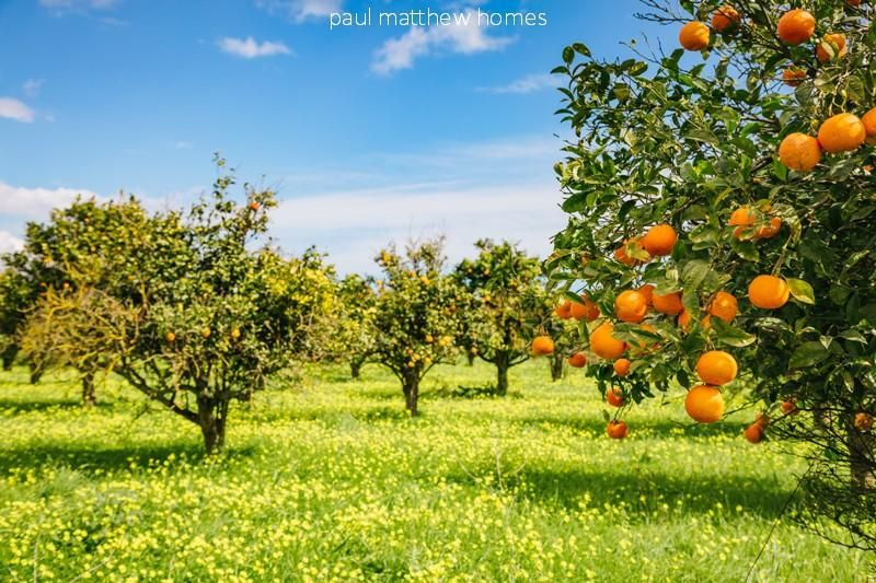 Orangers dans un champ à denia