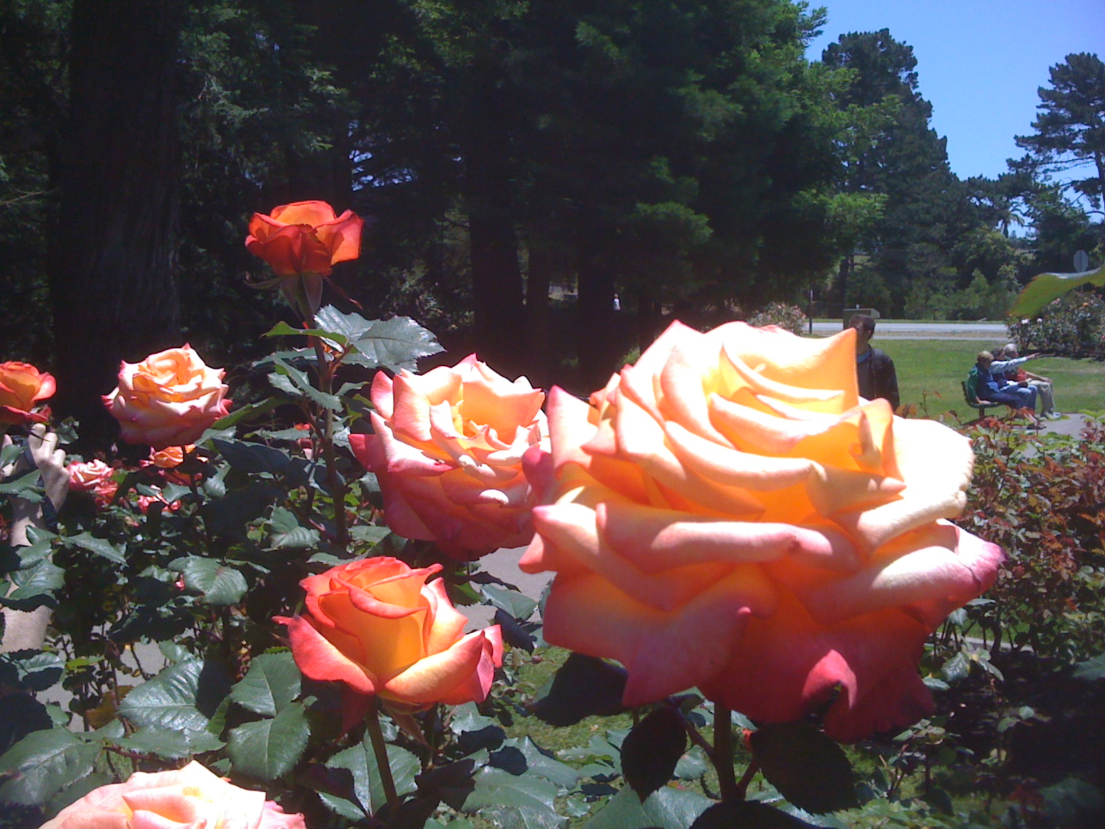 Roses at the Rose Garden