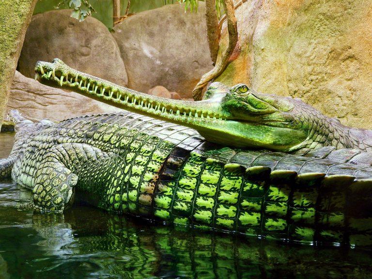 Prague Zoo, ghavials