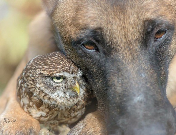 Screen Shot 2016 08 12 at 1.17.13 PM - Tiny Owlet Meets A Giant Shepherd. And Their Friendship Is Too Cute To Be True!
