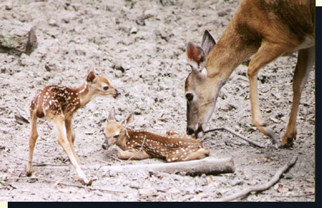 WTinfoLblossomFawns - White Doe Gives Birth To Twin Fawns And Two Looks Completely Different