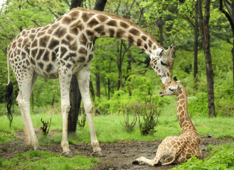 large - Mother Giraffe Waits For Newborn Baby to Stand With Four Legs