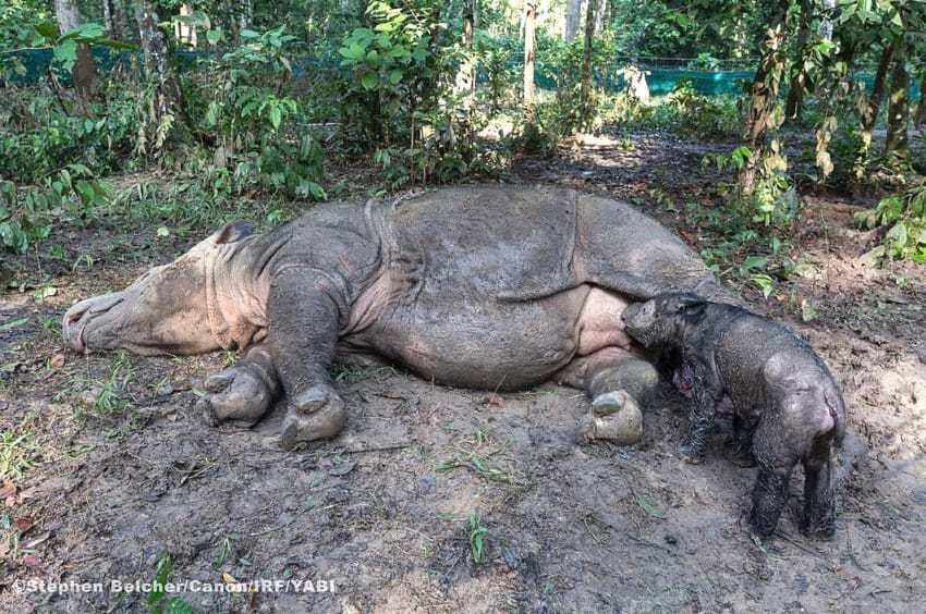 rhino1 1 - Baby Rhinos Break Unbelievable Record