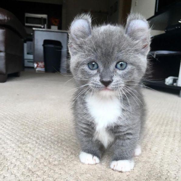 D couvre le munchkin le seul chat qui reste b b toute sa - Prix chat munchkin ...