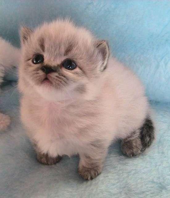 D couvre le munchkin le seul chat qui reste b b toute sa vie vonjour - Chat munchkin prix ...