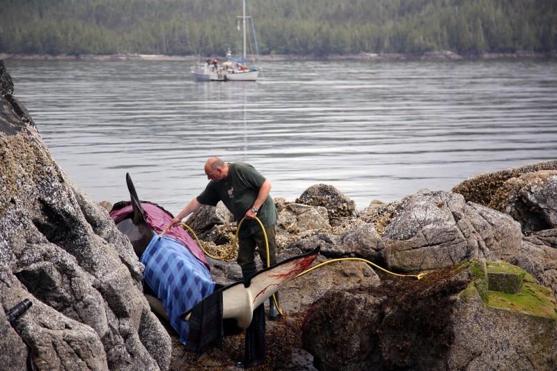 img 5842 - [VIDÉO] Une orque échouée est sauvée par des gens !