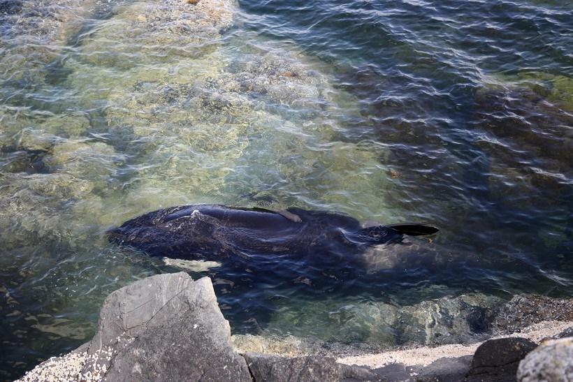 img 6020 - [VIDÉO] Une orque échouée est sauvée par des gens !
