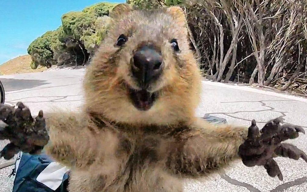quokka3 - On décerne le prix du meilleur selfie du début d'année à ce quokka trop mignon !