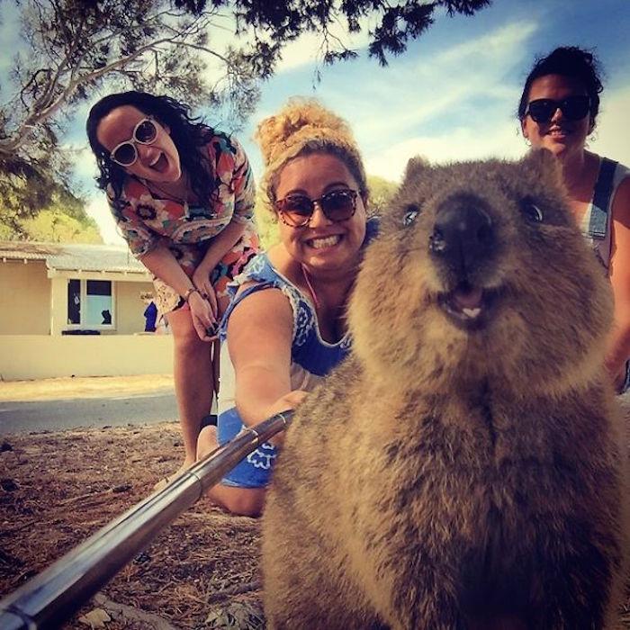 quokkaselfie - On décerne le prix du meilleur selfie du début d'année à ce quokka trop mignon !