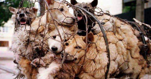 si vous aimez les chiens f - Chine: Le festival de la barbarie continue de massacrer des chiens et des chats