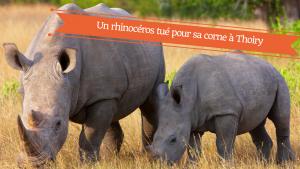 un-rhinoceros-tue-pour-sa-corne-en-france