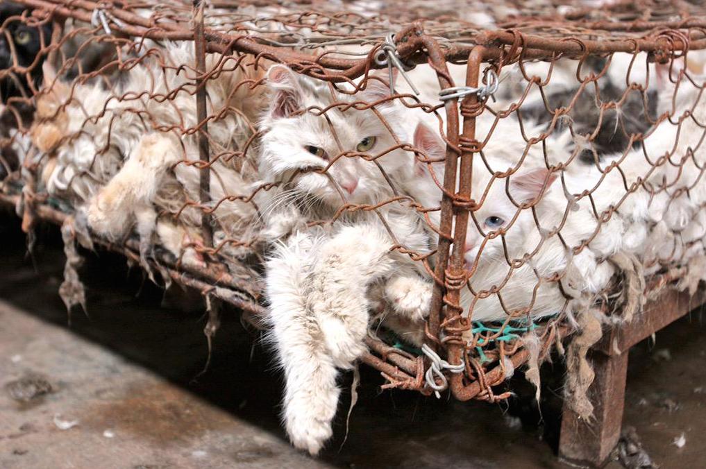 yulin festival 21 - Chine: Le festival de la barbarie continue de massacrer des chiens et des chats