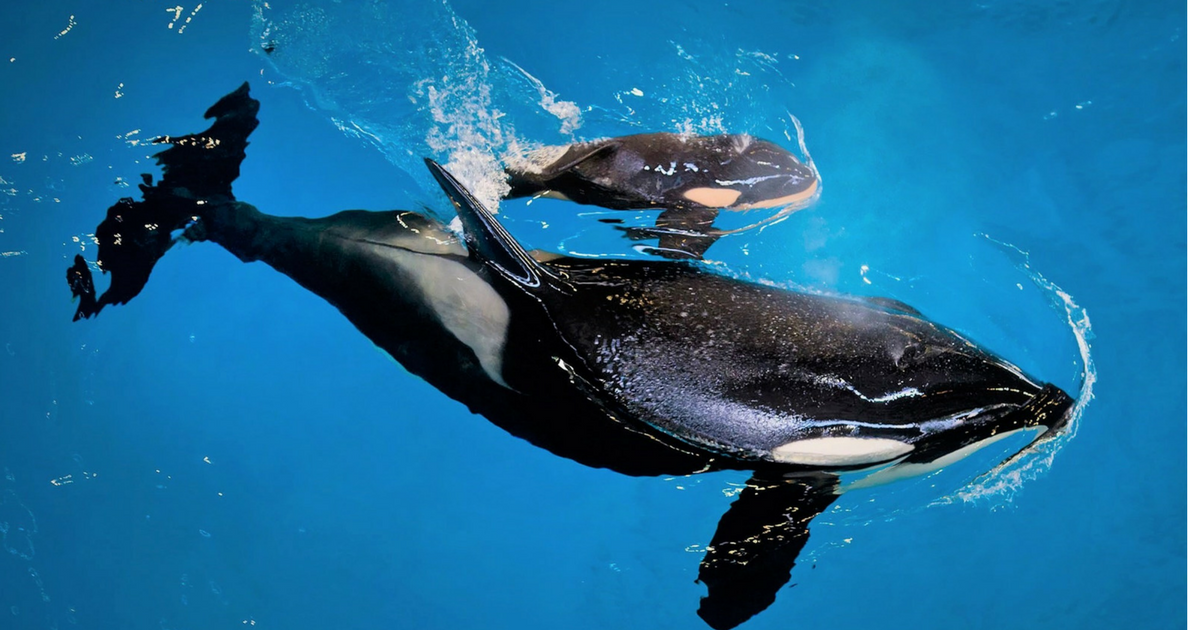 sans titre 1 1 - Le dernier bébé orque est né et il est adorable