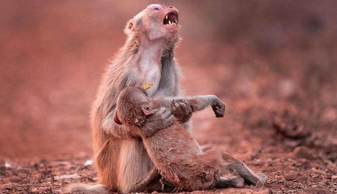 1 12 - 意識を失った子猿を抱きしめ、絶叫する母猿の姿が悲しすぎる。