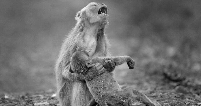 2 13 - 意識を失った子猿を抱きしめ、絶叫する母猿の姿が悲しすぎる。