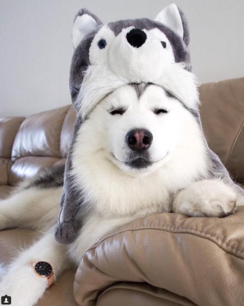 2 - 【癒し】表情豊かなハスキー犬'マル'の写真集!