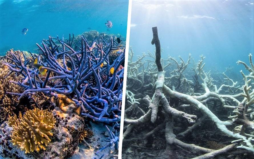 """2016 06 09 corals - La Grande Barrière de Corail est en """"phase terminale"""" de cancer"""