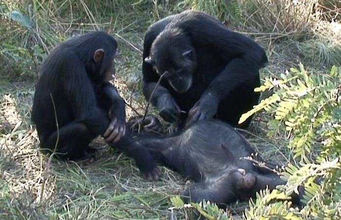 3 12 - 意識を失った子猿を抱きしめ、絶叫する母猿の姿が悲しすぎる。