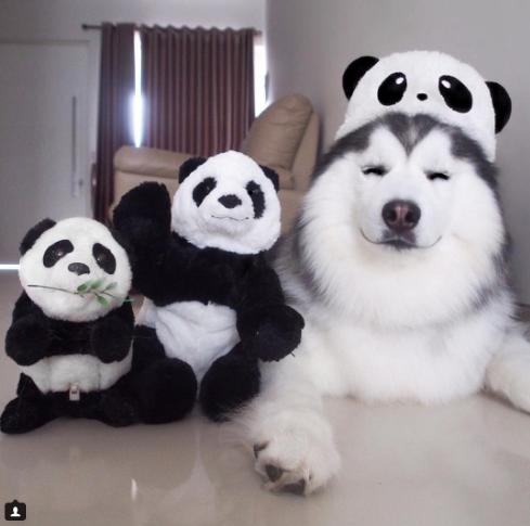 6 - 【癒し】表情豊かなハスキー犬'マル'の写真集!