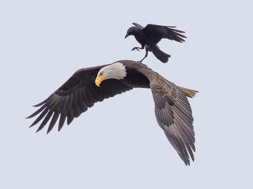 crow rides eagle bird photography phoo chan 1 - Photos incroyables : un corbeau se laisse porter par un aigle !