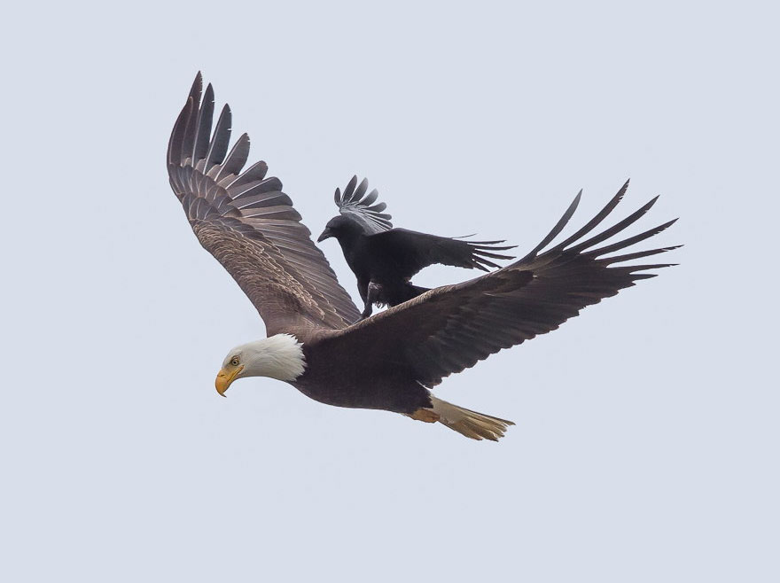 crow rides eagle bird photography phoo chan 2 - Photos incroyables : un corbeau se laisse porter par un aigle !