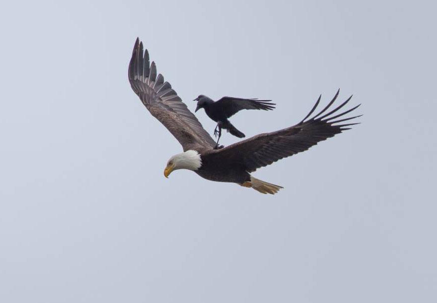 crow rides eagle bird photography phoo chan 5 - Photos incroyables : un corbeau se laisse porter par un aigle !