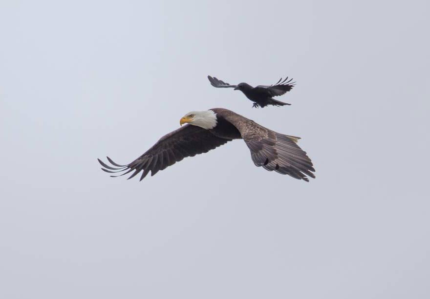 crow rides eagle bird photography phoo chan 6 - Photos incroyables : un corbeau se laisse porter par un aigle !