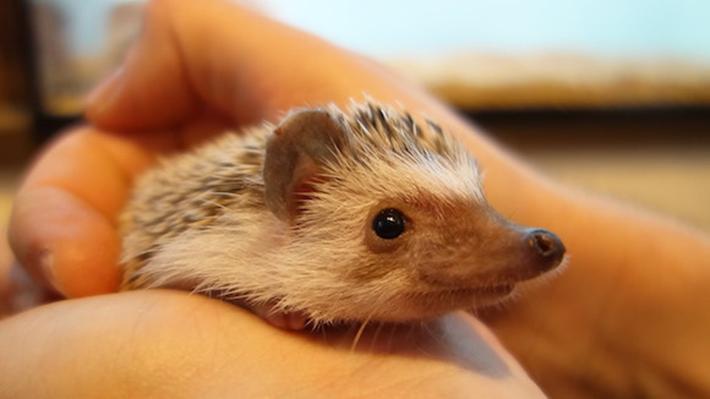 """harry hedgehog cafe tokyo - Au Japon, un café """"à hérissons"""" vient d'ouvrir"""