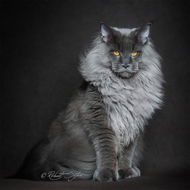 maine coon cat photography robert sijka 67 57ad952ba9cac  880 - Ce photographe va vous faire craquer pour les Maine Coons