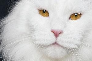 white and ogange robert sijka - Ce photographe va vous faire craquer pour les Maine Coons