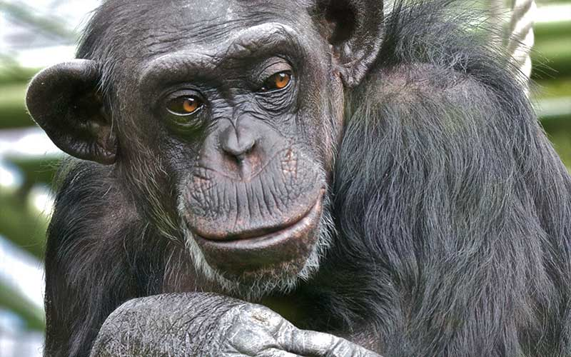 Chimpanzee Facts and Information