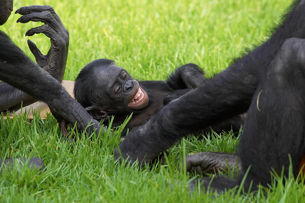 bonobo tickle - 문란함이 상상초월! '보노보'의 은밀하고 화끈한 성생활에 관한 사실 5가지