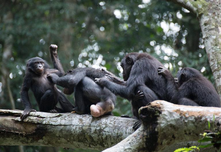 bonobos nytimes - 문란함이 상상초월! '보노보'의 은밀하고 화끈한 성생활에 관한 사실 5가지