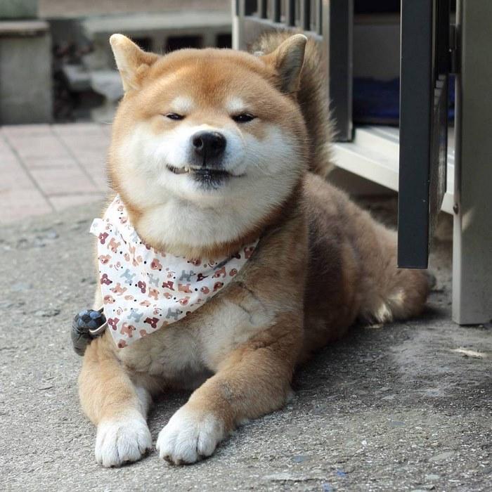cute dog shiba inu ryuji japan 11 - 日本に住む表情豊かな8歳の柴犬リュウジ