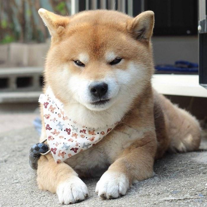 cute dog shiba inu ryuji japan 14 - 日本に住む表情豊かな8歳の柴犬リュウジ