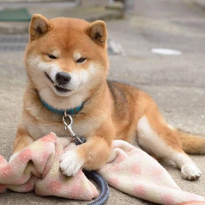 cute dog shiba inu ryuji japan 29 - 日本に住む表情豊かな8歳の柴犬リュウジ