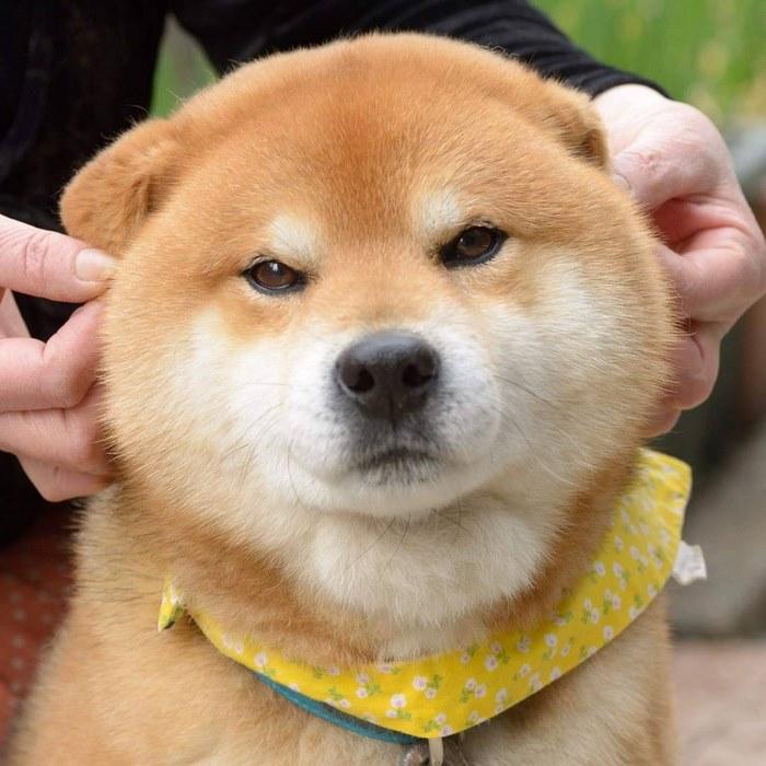 cute dog shiba inu ryuji japan 69 - 日本に住む表情豊かな8歳の柴犬リュウジ