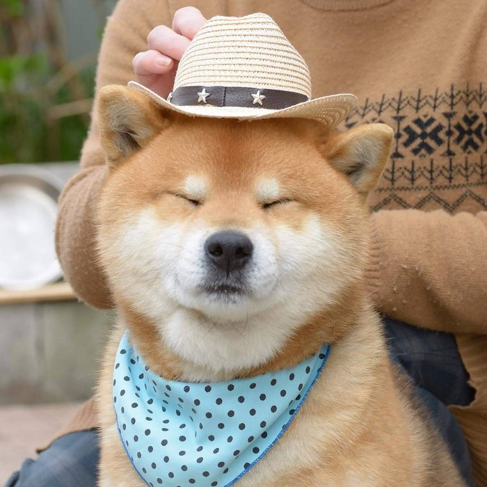 cute dog shiba inu ryuji japan 72 - 日本に住む表情豊かな8歳の柴犬リュウジ