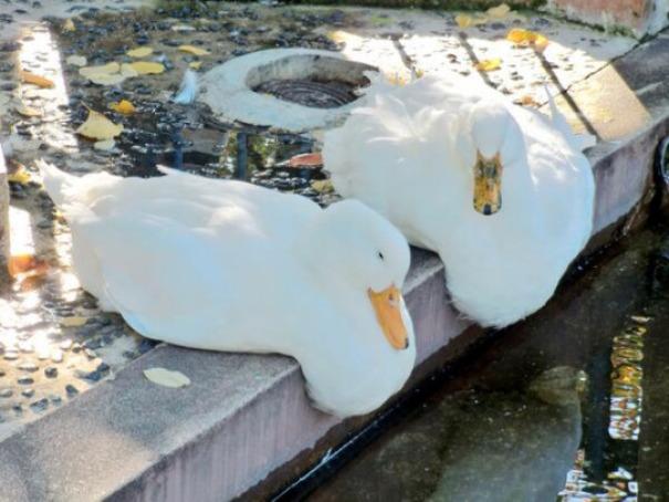 ducks - 마치 녹아내리는 듯한 동물 사진 모음