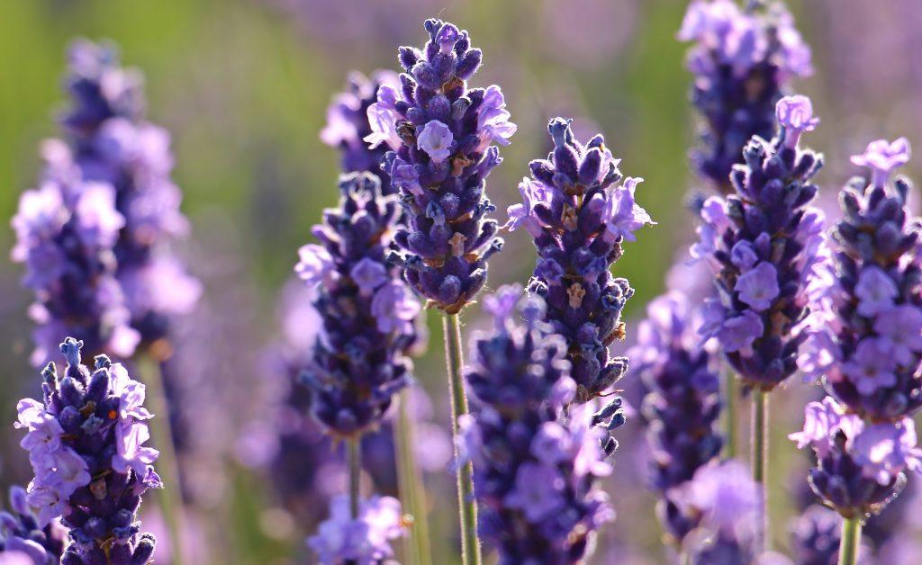 lavender 2426376 1920 1024x628 - 두통으로 고생하는 애인에게 만들어주기 좋은 '라벤더-레모네이드' 주스