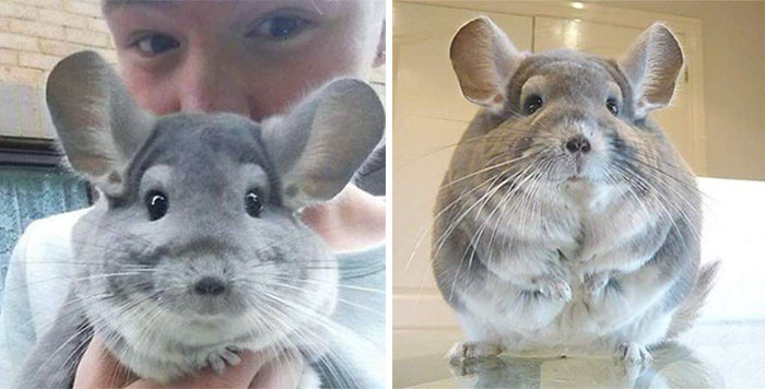 these perfectly round chinchillas is the cutest thing youll see today 58ad58e777897  700 - 심장무리 주의! 세상 '귀요미' 친칠라의 치명적인 귀여움 (사진)