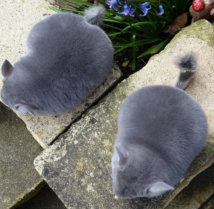 these perfectly round chinchillas is the cutest thing youll see today 58ad58eb3a67b  700 - 심장무리 주의! 세상 '귀요미' 친칠라의 치명적인 귀여움 (사진)
