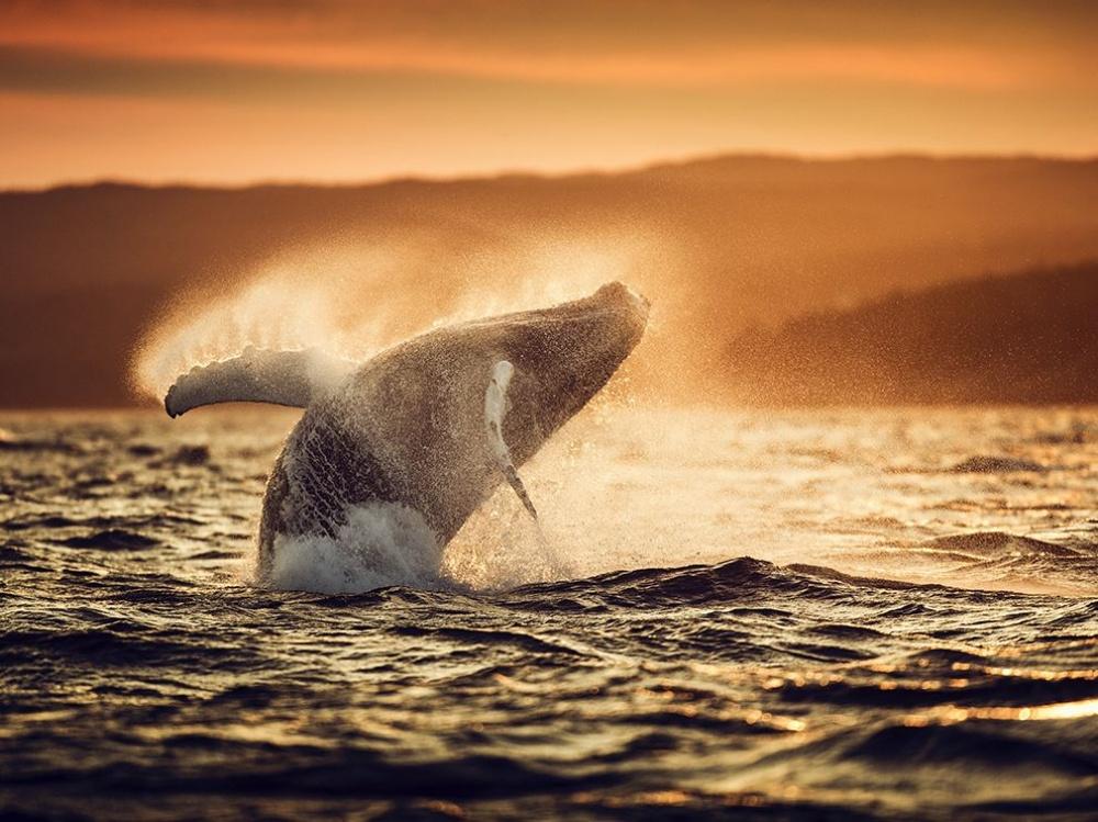 12495060 humpback whale breach 90675 990x742 1000 65882b63e5 1490359360 - 한번 보면 절대로 잊지 못할 '25장'의 사진