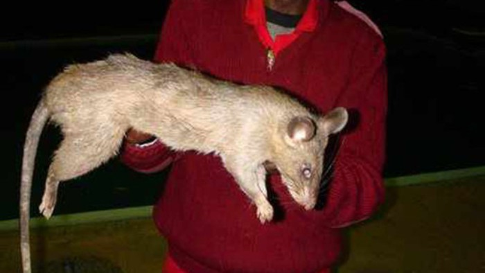 1307596779 - 엄마가 파티 놀러간 사이에 '거대 쥐'에게 뜯어 먹힌 아기