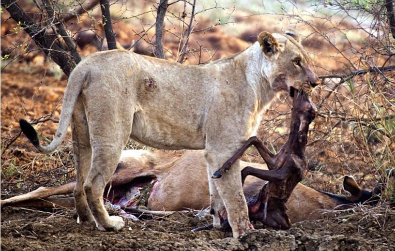 1708180401 - 임신한 사슴 사냥 후... 암사자의 '놀라운 행동'에 모두가 깜짝!