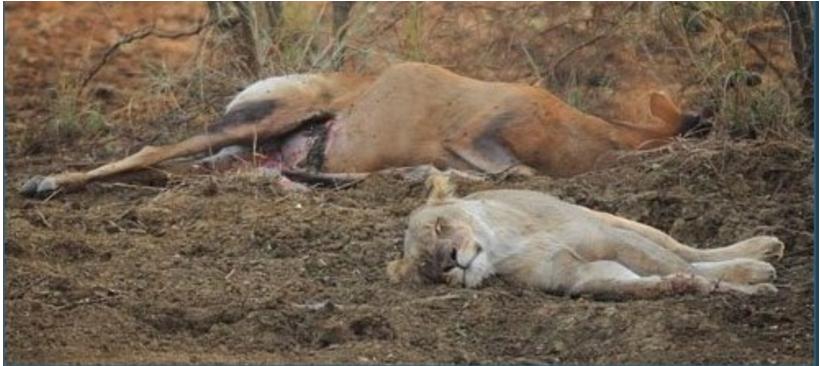 1708180404 - 임신한 사슴 사냥 후... 암사자의 '놀라운 행동'에 모두가 깜짝!