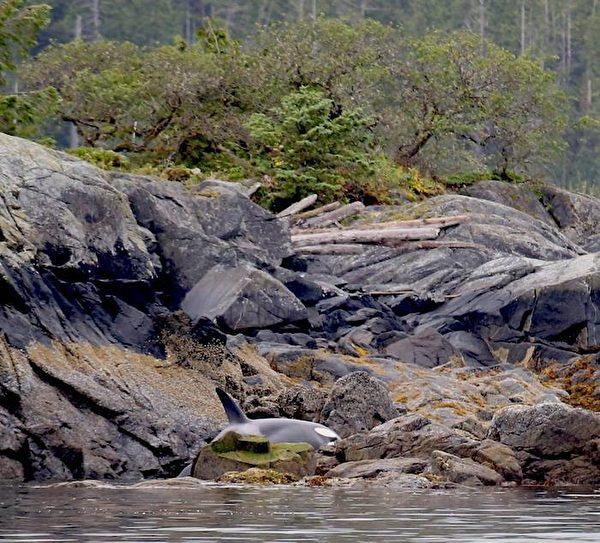 beached orca1 600x543 - 썰물 때 빠져나가지 못한 새끼 범고래를 살리기 위해 '8시간' 물을 나른 사람들 (영상)