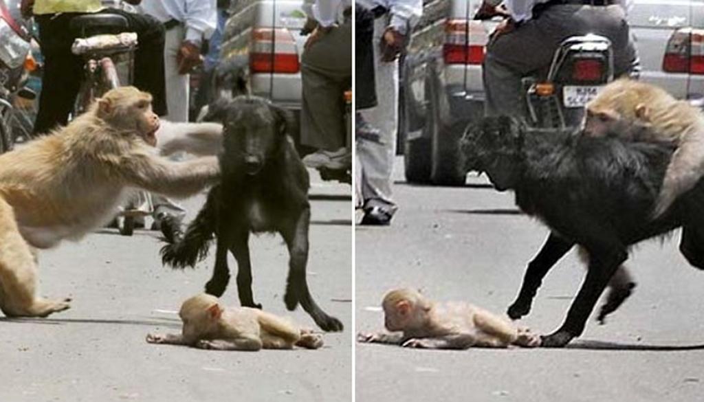 img 599d6f69d955d - 子どもを攻撃する猛犬 死ぬ危険にもかかわらずに立ち向かうお母さんサル