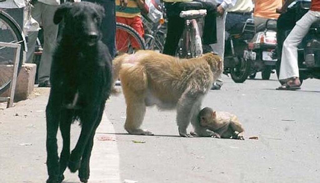 img 599d6f92bbc21 - 子どもを攻撃する猛犬 死ぬ危険にもかかわらずに立ち向かうお母さんサル
