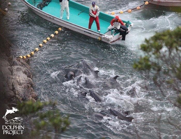 l00t9v625524u5r32583 - 피바다 만드는 일본 '돌고래 사냥'… 9월부터 본격 시작